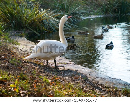 white swan with an elongated neck at a pond with ducks #1549761677