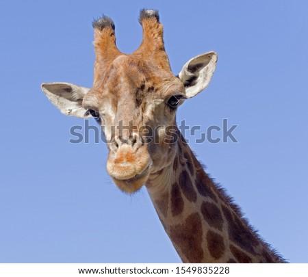Giraffe head face isolated on background sky