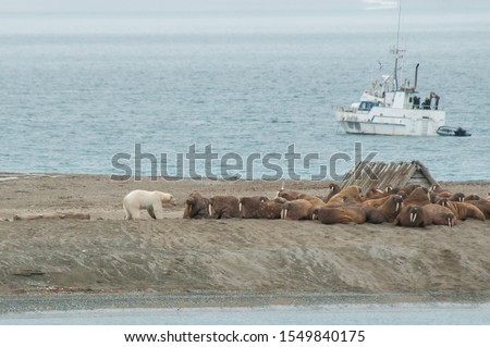 Polar bear trees to hunt a walrus on the land with a boat in a background