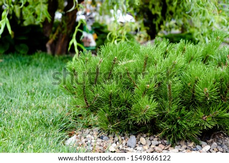 Landscape design. Composition, in the foreground, dwarf mountain pine, mountain pine, Mugo pine or creeping pine. #1549866122