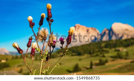 Beautiful alpine view with alpine flower details and the Langkofel and Plattkofel summits at the famous Seiser Alm, South Tyrol, Italy #1549868735