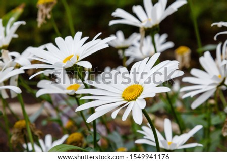 Flowering of daisies. Oxeye daisy, Leucanthemum vulgare, Daisies, Dox-eye, Common daisy, Dog daisy, Moon daisy. Gardening concept #1549941176