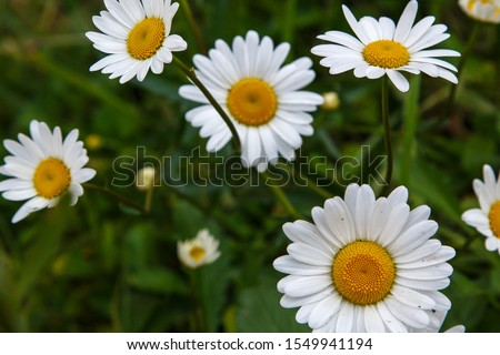 Flowering of daisies. Oxeye daisy, Leucanthemum vulgare, Daisies, Dox-eye, Common daisy, Dog daisy, Moon daisy. Gardening concept #1549941194