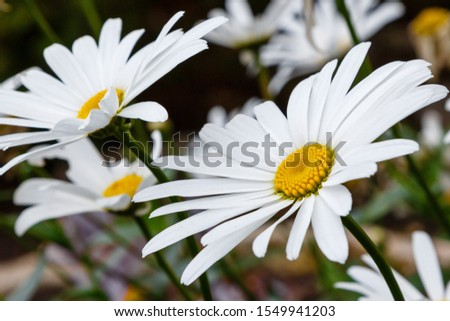 Flowering of daisies. Oxeye daisy, Leucanthemum vulgare, Daisies, Dox-eye, Common daisy, Dog daisy, Moon daisy. Gardening concept #1549941203
