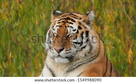 Siberian tigress with her eyes closed #1549988090