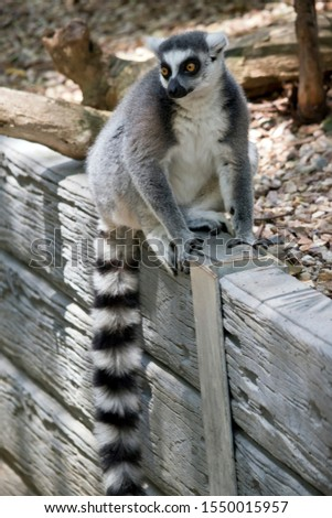 the ring tailed lemur is sitting on a wall showing his long striped tail #1550015957