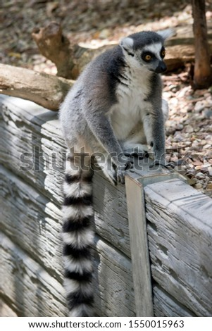the ring tailed lemur is sitting on a wall showing his long striped tail #1550015963