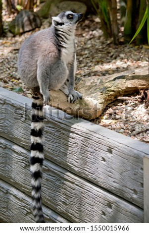 the ring tailed lemur is sitting on a wall showing his long striped tail #1550015966