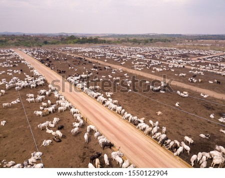 Aerial drone view of many oxen grazing on sunny summer day on feedlot cattle farm in Amazon, Para, Brazil. Concept of agriculture, environment, ecology, economy, exportation and meat production. Royalty-Free Stock Photo #1550122904