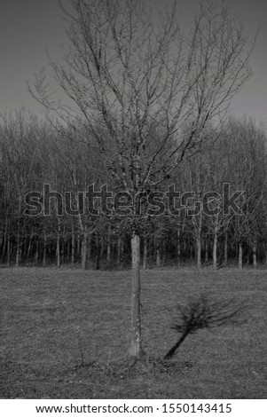 A vertical grayscale shot of a bare tree with its shadow and a forest in the background #1550143415