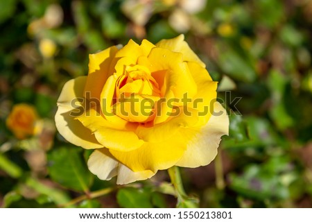 Gold Badge, Cl. rose flower in the field. Scientific name: Rosa 'Gold Badge, Cl.'. Flower bloom Color: Medium yellow.  #1550213801