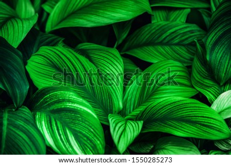 leaves of Spathiphyllum cannifolium, abstract green texture, nature background, tropical leaf #1550285273