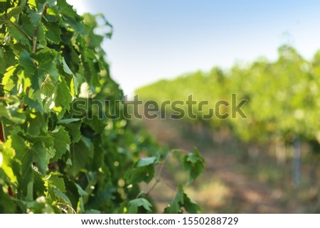 View of vineyard rows with fresh grapes on sunny day #1550288729