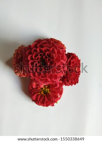 Group of red color dahlia flowers isolated in a white background. Frame or border design of flowers #1550338649