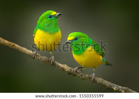 Cute birds. Beautiful tanager Blue-naped Chlorophonia, Chlorophonia cyanea, exotic tropical green songbird from Colombia. Wildlife from South America. Birdwatching in Colombia. Two animals on branch. Royalty-Free Stock Photo #1550355599