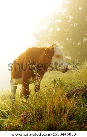 Cow in the meadow in the early morning among the grass in sparkling dew and fog. Alpine meadows. soft focus selective.  #1550446850