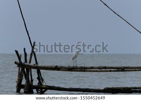 Great Egret or Great White Egret at the Indonesian sea. Many Egrets are members of the  Genera Egretta or Ardea  #1550452649
