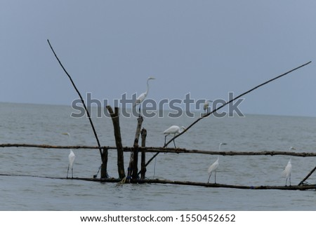 Great Egret or Great White Egret at the Indonesian sea. Many Egrets are members of the  Genera Egretta or Ardea  #1550452652