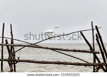 Great Egret or Great White Egret at the Indonesian sea. Many Egrets are members of the  Genera Egretta or Ardea  #1550452655