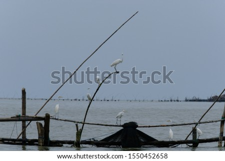 Great Egret or Great White Egret at the Indonesian sea. Many Egrets are members of the  Genera Egretta or Ardea  #1550452658