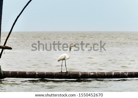 Great Egret or Great White Egret at the Indonesian sea. Many Egrets are members of the  Genera Egretta or Ardea  #1550452670