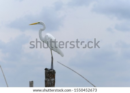 Great Egret or Great White Egret at the Indonesian sea. Many Egrets are members of the  Genera Egretta or Ardea  #1550452673