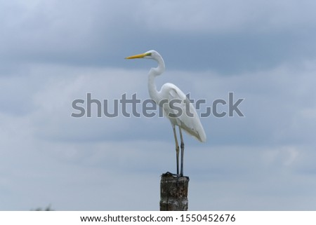 Great Egret or Great White Egret at the Indonesian sea. Many Egrets are members of the  Genera Egretta or Ardea  #1550452676