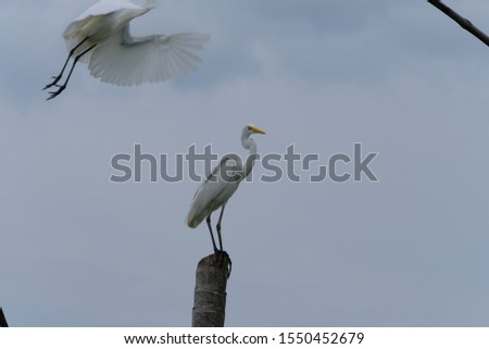Great Egret or Great White Egret at the Indonesian sea. Many Egrets are members of the  Genera Egretta or Ardea  #1550452679