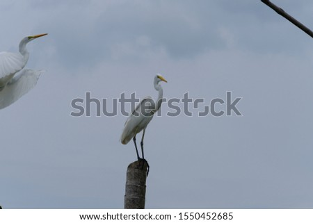 Great Egret or Great White Egret at the Indonesian sea. Many Egrets are members of the  Genera Egretta or Ardea  #1550452685
