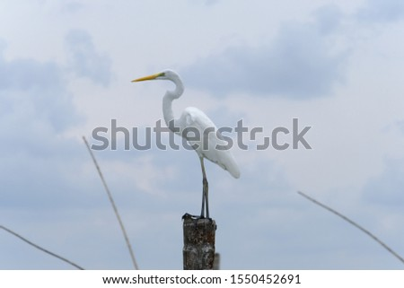 Great Egret or Great White Egret at the Indonesian sea. Many Egrets are members of the  Genera Egretta or Ardea  #1550452691