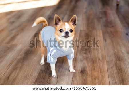 Dog in sport clothes. Chihuahua dressed like sportsman. place for text. Healthy lifestyle. #1550473361