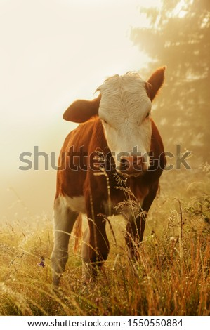 Cow in the meadow in the early morning among the grass in sparkling dew and fog. Alpine meadows.  #1550550884