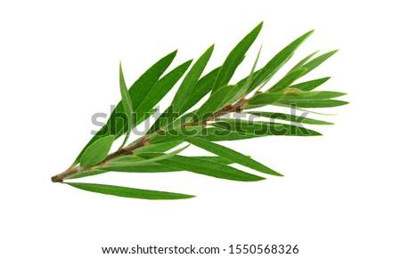 Melaleuca (Tea Tree) Isolated on White Background. #1550568326
