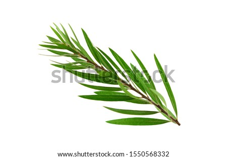 Melaleuca (Tea Tree) Isolated on White Background. #1550568332
