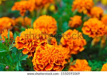 Orange marigolds aka tagetes erecta flower closeup on the flowerbed  in the garden #1550591069