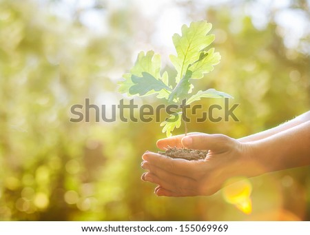 Oak sapling in hands. The leaves of rays of sunlight. #155069969