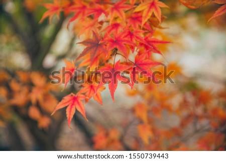 Outdoor autumn maple Japanese red maple leaf closeup,Acer palmatum atropurpureum #1550739443