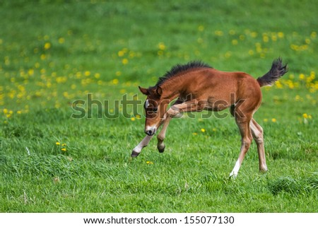 Foal playing in a meadow #155077130