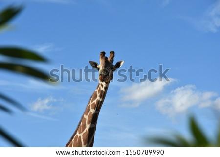 Giraffe in the Attica zoological park