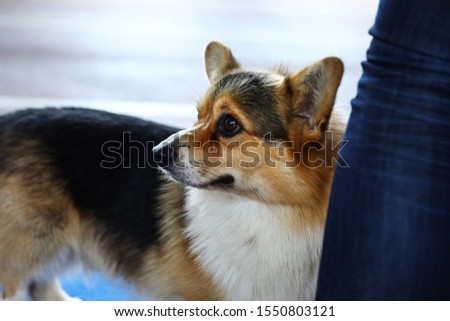 Owner with cute Welsh Corgi at dog show #1550803121