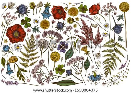 Vector set of hand drawn colored shepherd's purse, heather, fern, wild garlic, clover, globethistle, gentiana, astilbe, craspedia, lagurus, black caraway, chamomile, dandelion, poppy flower, lily of the angelica. Royalty-Free Stock Photo #1550804375