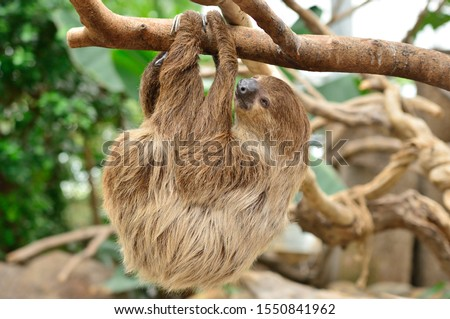 Sloth hanging on a tree.