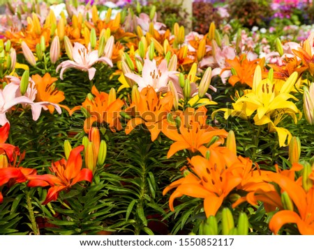 LIlium flower, Lilium bulbiferum, common names orange lily, fire lily and tiger lily, is a  herbaceous European lily with underground bulbs, belonging to the Liliaceae.   #1550852117