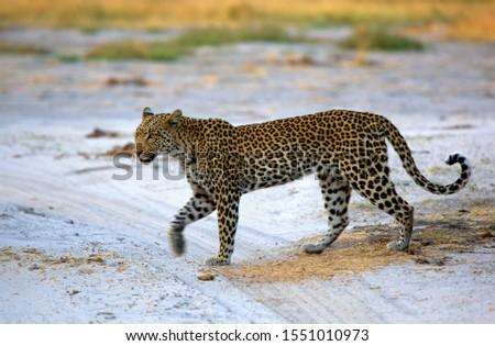 Leopard (Panthera pardus), Savuti, Botswana.