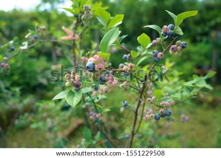 Young Blueberry Plant in Garden #1551229508