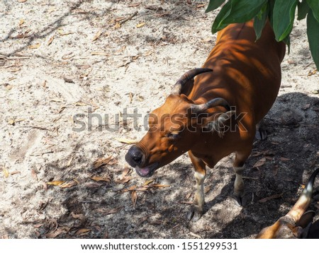 A picture of a banteng looking up at the front