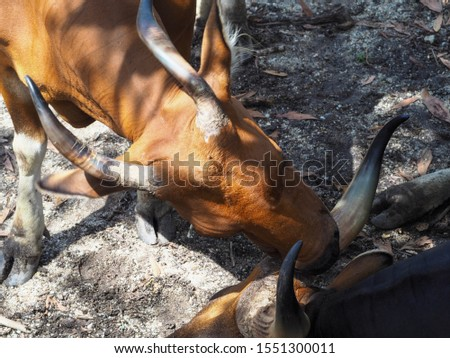A picture of a banteng looking for a friend to clean him