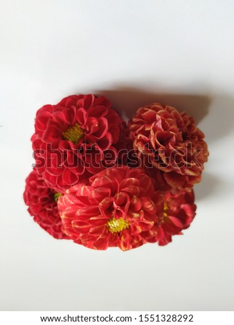 Beautiful single red color Dahlia flower isolated in a white background #1551328292