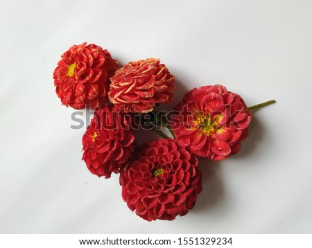 Group of red color dahlia flowers isolated in a white background. Frame or border design of flowers #1551329234