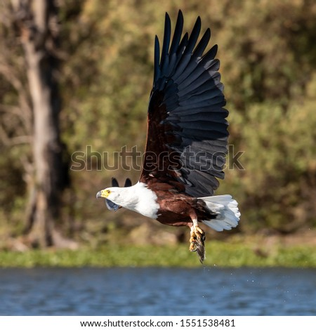 Fish eagle, Haliaeetus vocifer, catching a fish from the surface of Lake Naivasha, Kenya. These skilled predators will snatch fish from the water with their strong and sharp talons. #1551538481
